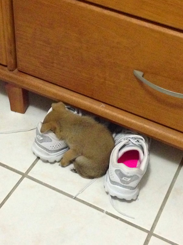 A puppy sleeping in my sister's shoe.
