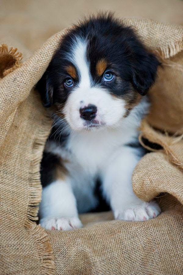 Bernese mountain dog puppies are one of  the cutest puppies of 2015.
