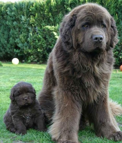 Newfoundland puppies are listed among the cutest puppies of 2015.