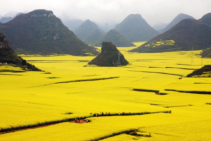 Top reasons to visit China - Canola Flower fields.