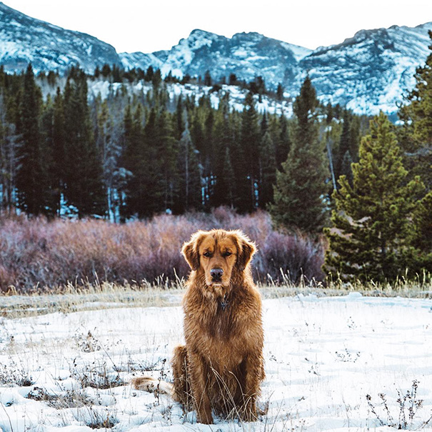 Meet Aspen a golden retriever from Colorado. He definitely knows how to pose.