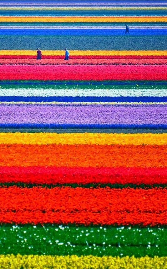 Gorgeous flower fields are one of the things you will love about the Netherlands.