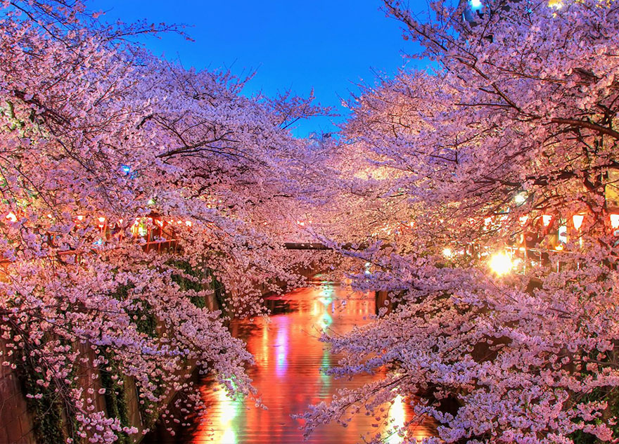 Blooming Sakura Trees