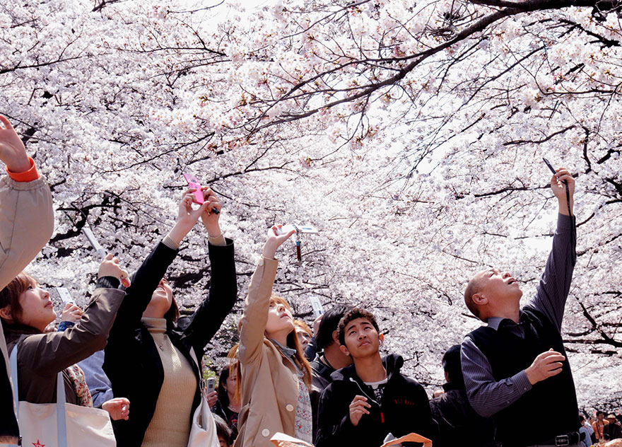 Admiring Blooming Sakura Trees