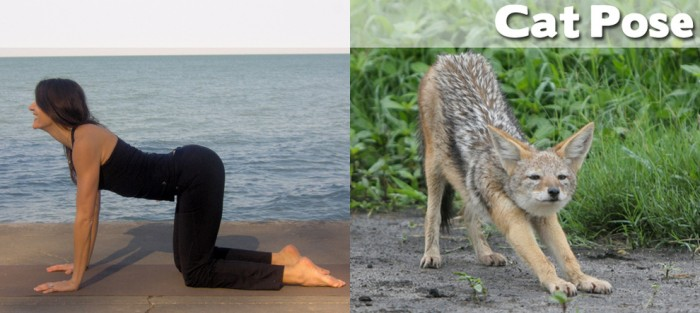 Take a look at our compilation of 20 cute animals doing yoga. This is a cat pose.
