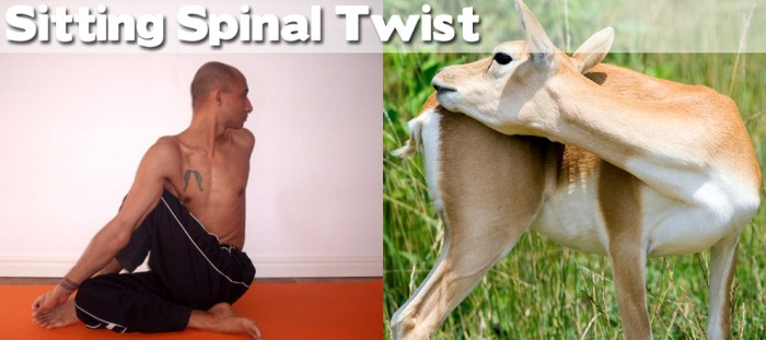Take a look at our compilation of 20 cute animals doing yoga. This is a sitting spinal twist.