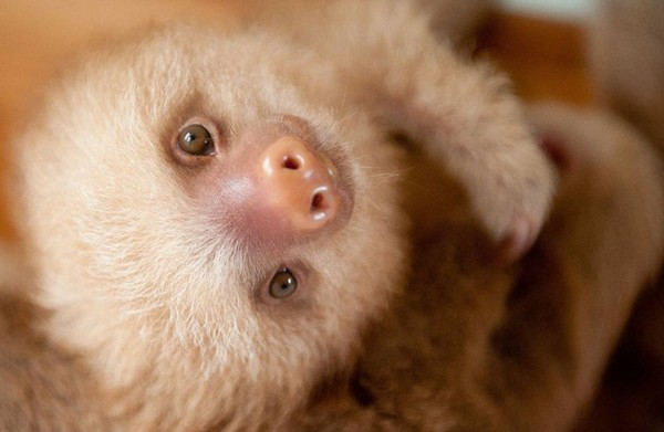 These are the cutest baby sloths in the world.