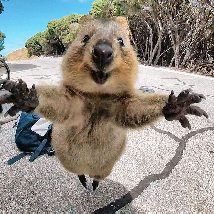 Meet the friendliest quokka in the world.