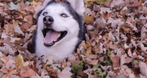 This funny Siberian husky will put a smile on your face. Looks like he enjoys playing in leaves.