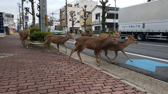 People reported seeing deer on the deserted streets in city of Nara.