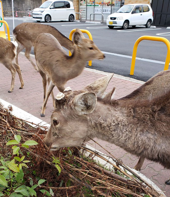 Animals on the streets of Japan during Covid 19 quarantine.
