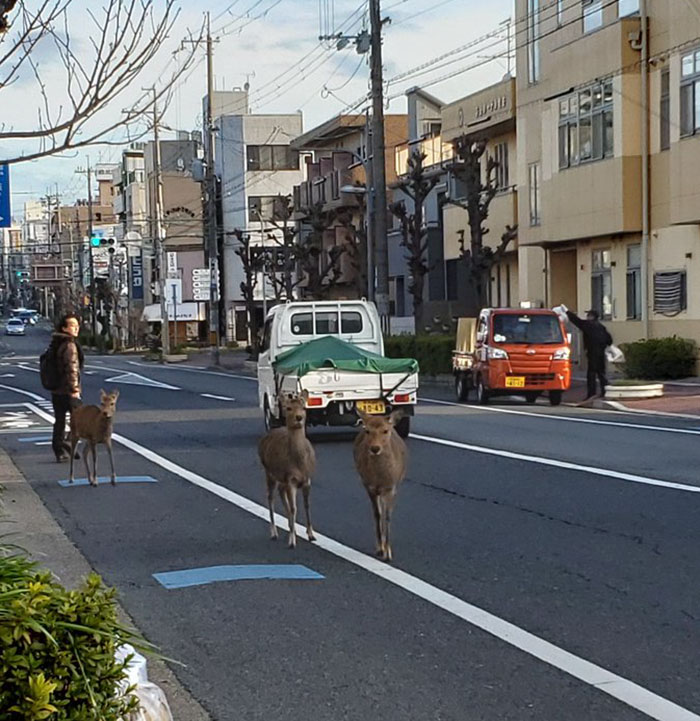 Deer on the streets of Japan
