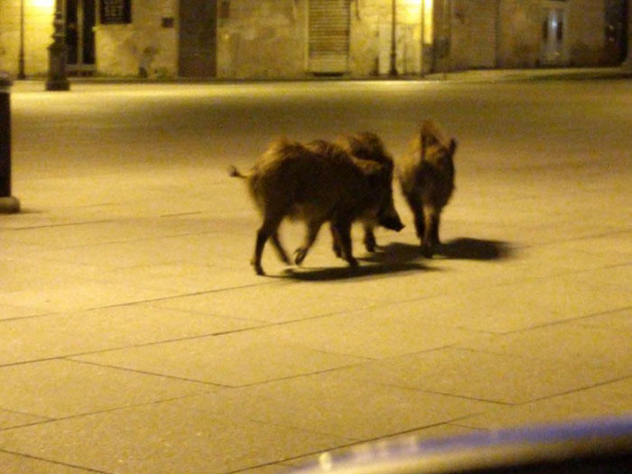Hungry wild boars roam the streets freely in search of food.