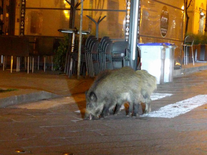 Wild boars are out in search of food.
