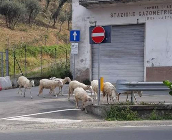 Along with other animals, people could see sheep walking around the streets.