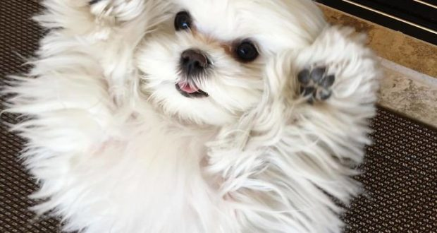 With her button eyes Coco is a real beauty and probably the cutest Maltese ever.