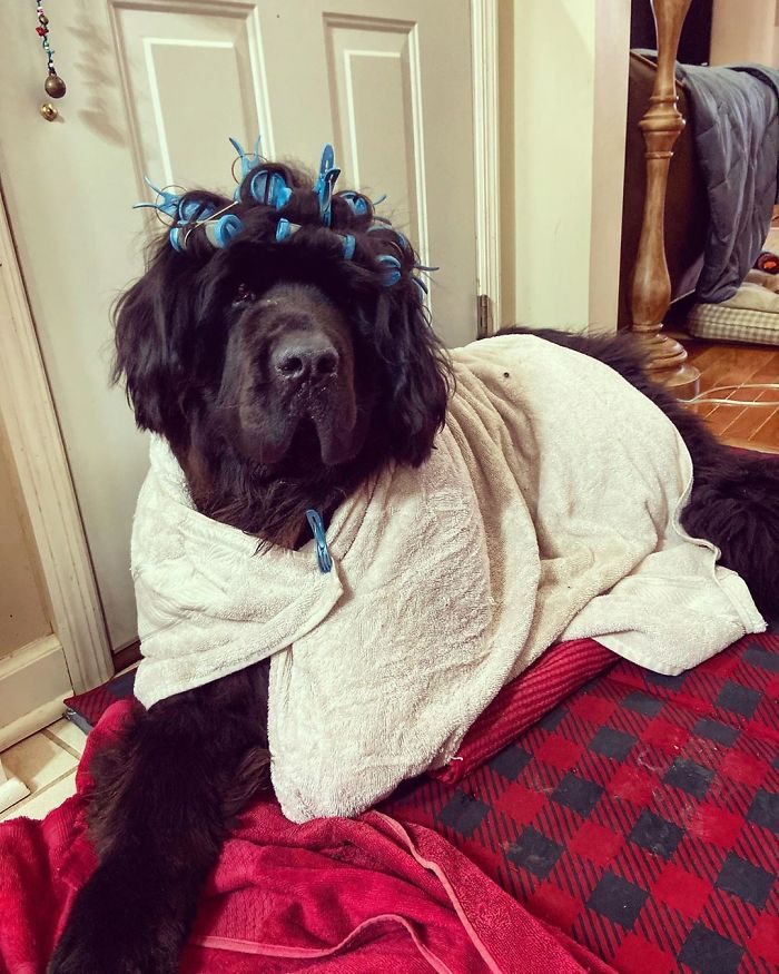 This is Hank the Newfoundland dog with the funniest hairstyles.