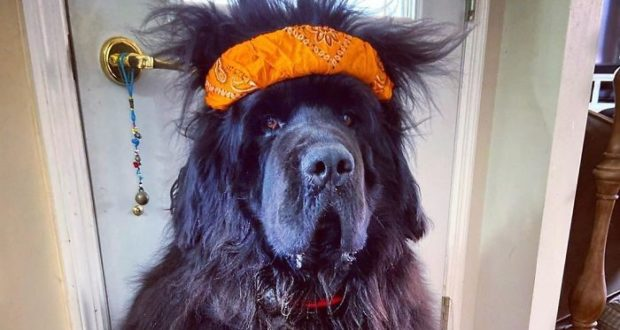 Meet Hank the Newfoundland dog with the craziest hairstyles.