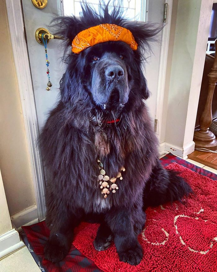 This is Hank the Newfoundland with the craziest hairdos.