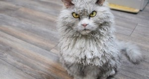 Meet Albert the sheep cat with a bitchy resting face.